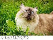 Купить «Кот с голубыми глазами в траве», фото № 12740715, снято 30 июня 2015 г. (c) Александр Романов / Фотобанк Лори
