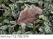 Купить «Berlin, Germany, ueberzogene with hoarfrost leaves», фото № 12742919, снято 27 декабря 2014 г. (c) Caro Photoagency / Фотобанк Лори