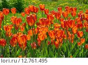 Купить «Красные тюльпаны», эксклюзивное фото № 12761495, снято 20 мая 2015 г. (c) Елена Коромыслова / Фотобанк Лори