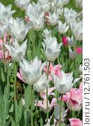 Купить «Белые сортовые тюльпаны», эксклюзивное фото № 12761503, снято 20 мая 2015 г. (c) Елена Коромыслова / Фотобанк Лори