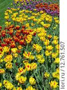 Купить «Разноцветные махровые сортовые тюльпаны», эксклюзивное фото № 12761507, снято 20 мая 2015 г. (c) Елена Коромыслова / Фотобанк Лори