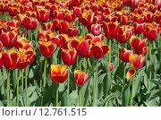 Купить «Красно-желтые тюльпаны», эксклюзивное фото № 12761515, снято 20 мая 2015 г. (c) Елена Коромыслова / Фотобанк Лори
