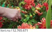 Купить «Садовник ухаживает за цветами в саду, крупный план женские руки с георгинами», видеоролик № 12765671, снято 11 сентября 2015 г. (c) Кекяляйнен Андрей / Фотобанк Лори