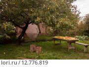 Стол с яблоками под яблоней. Стоковое фото, фотограф Ольга Шабалкина / Фотобанк Лори