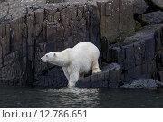 Белый медведь в естественной среде обитания. Земля Франца-Иосифа. Стоковое фото, фотограф Николай Гернет / Фотобанк Лори