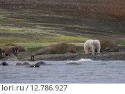 Купить «Белый медведь среди стада моржей. Земля Франца-Иосифа», фото № 12786927, снято 20 августа 2015 г. (c) Николай Гернет / Фотобанк Лори