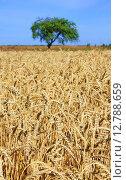 Спелая пшеница. Стоковое фото, фотограф Андрей Силивончик / Фотобанк Лори