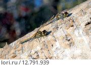 Купить «Две стрекозы на стволе дерева», фото № 12791939, снято 26 сентября 2015 г. (c) Алексей Маринченко / Фотобанк Лори