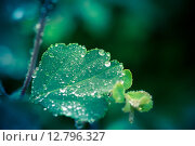 Купить «Wet leaf with several raindrops», фото № 12796327, снято 22 мая 2019 г. (c) PantherMedia / Фотобанк Лори