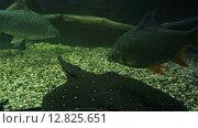 Купить «Караси и скат в аквариуме», видеоролик № 12825651, снято 10 июня 2015 г. (c) Юлия Машкова / Фотобанк Лори