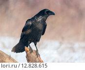 Купить «Ворон (Corvus corax)», фото № 12828615, снято 14 января 2015 г. (c) Сергей Рыжков / Фотобанк Лори