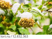 Купить «Плоды Пузыреплодника калинолистного (Physocarpus opulifolius) под снегом», фото № 12832363, снято 9 октября 2015 г. (c) Алёшина Оксана / Фотобанк Лори