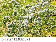 Купить «Яблоня в снегу», фото № 12832371, снято 9 октября 2015 г. (c) Алёшина Оксана / Фотобанк Лори