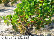 Купить «valley vine grape vines weinfeld», фото № 12832923, снято 22 августа 2018 г. (c) PantherMedia / Фотобанк Лори