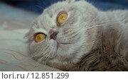 Купить «Шотландская вислоухая серая кошка», видеоролик № 12851299, снято 9 октября 2015 г. (c) Александр Багно / Фотобанк Лори