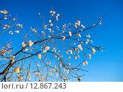 Купить «Ветви ивы пятитычинковой с пушистыми сережками  на фоне голубого неба», фото № 12867243, снято 11 октября 2015 г. (c) Алексей Маринченко / Фотобанк Лори