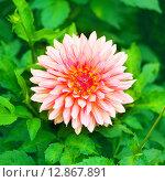 Красивый розовый цветок в саду. Стоковое фото, фотограф Оксана Дорохина / Фотобанк Лори