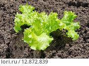 Купить «Листовой салат на грядке», эксклюзивное фото № 12872839, снято 8 июня 2015 г. (c) Елена Коромыслова / Фотобанк Лори