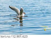 Чайка собирает корм в воде. Стоковое фото, фотограф Игорь Низов / Фотобанк Лори