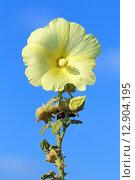Купить «Шток-роза (Alcea rosea). Желтый цветок мальвы на фоне голуго неба», фото № 12904195, снято 13 августа 2015 г. (c) Григорий Писоцкий / Фотобанк Лори