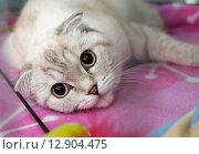 Купить «Шотландская вислоухая кошка лежит на подстилке», эксклюзивное фото № 12904475, снято 17 октября 2015 г. (c) Вячеслав Палес / Фотобанк Лори