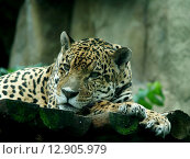 Леопард (2010 год). Стоковое фото, фотограф Ольга Левадная / Фотобанк Лори
