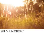 Золотая трава на закате. Стоковое фото, фотограф Ирина Буракова / Фотобанк Лори