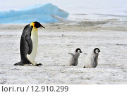 Купить «Императорский пингвин с детенышами», фото № 12910299, снято 14 октября 2019 г. (c) Vladimir / Фотобанк Лори