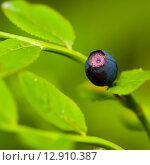 Купить «Спелая ягода черники растёт на кусту», эксклюзивное фото № 12910387, снято 2 июля 2015 г. (c) Игорь Низов / Фотобанк Лори