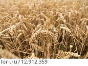 Купить «field of ripening wheat ears or rye spikes», фото № 12912359, снято 26 августа 2015 г. (c) Syda Productions / Фотобанк Лори