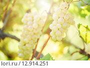 Купить «Green grape on vineyard», фото № 12914251, снято 22 сентября 2015 г. (c) Дмитрий Калиновский / Фотобанк Лори