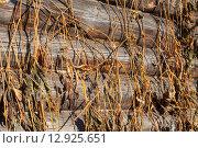 Сухие стебли винограда на старой стене. Стоковое фото, фотограф Виктор Сухарев / Фотобанк Лори