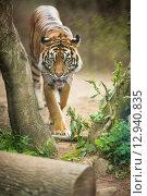 Купить «Closeup of a Siberian tiger also know as Amur tiger (Panthera tigris altaica),the largest living cat», фото № 12940835, снято 21 марта 2018 г. (c) PantherMedia / Фотобанк Лори