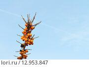 Купить «Ветка облепихи со спелыми ягодами на фоне неба», фото № 12953847, снято 19 октября 2014 г. (c) Наталия Макарова / Фотобанк Лори