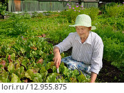 Купить «Пожилая улыбающаяся женщина окучивает землю на грядке с молодой свёклой», фото № 12955875, снято 26 июля 2015 г. (c) Максим Мицун / Фотобанк Лори