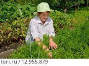 Купить «Пожилая женщина сосредоточенно пропалывает грядку с молодой морковью», фото № 12955879, снято 26 июля 2015 г. (c) Максим Мицун / Фотобанк Лори