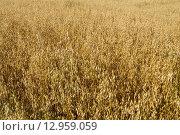 Колосья овса в поле. Стоковое фото, фотограф Аркадий Рыпин / Фотобанк Лори