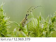 Усатый жук. Стоковое фото, фотограф Валерий Аноприенко / Фотобанк Лори