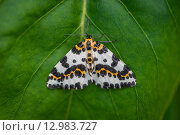 Купить «Harlekin butterfly on a green leaf background», фото № 12983727, снято 22 мая 2019 г. (c) PantherMedia / Фотобанк Лори