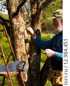 Купить «Мужчина обрабатывает садовым варом место среза ветки яблони», эксклюзивное фото № 12984451, снято 10 мая 2015 г. (c) Владимир Чинин / Фотобанк Лори
