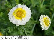 Купить «Хризантема корончатая махровая (лат. Chrysanthemum coronarium)», эксклюзивное фото № 12988031, снято 1 августа 2015 г. (c) Елена Коромыслова / Фотобанк Лори