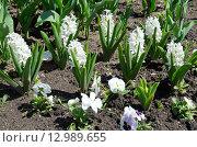 Белые гиацинты (лат. Hyacinthus) на весенней клумбе. Стоковое фото, фотограф Елена Коромыслова / Фотобанк Лори