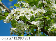 Купить «Боярышник обыкновенный  (лат. Crataegus laevigata) цветет», эксклюзивное фото № 12993831, снято 25 мая 2015 г. (c) Елена Коромыслова / Фотобанк Лори