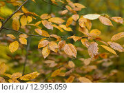Ветка дерева с жёлтыми листьями. Стоковое фото, фотограф Станислав Самойлик / Фотобанк Лори