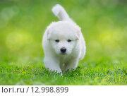 Купить «Полуторамесячный щенок - метис лабрадора и самоедской собаки», фото № 12998899, снято 17 августа 2014 г. (c) Абрамова Ксения / Фотобанк Лори