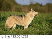 Собака маламут стоит на траве. Стоковое фото, фотограф Савчук Алексей / Фотобанк Лори