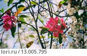 Цветущие яблоня и вишня. Стоковое фото, фотограф Ситнер Илья / Фотобанк Лори