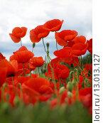 Купить «Summer field of red poppies and wild flowers», фото № 13013127, снято 19 марта 2019 г. (c) PantherMedia / Фотобанк Лори
