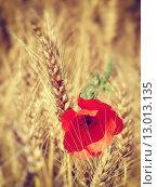 Купить «Red poppy in the field of wheat», фото № 13013135, снято 19 марта 2019 г. (c) PantherMedia / Фотобанк Лори