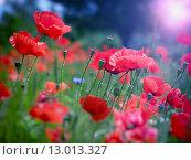 Купить «Summer field of red poppies and wild flowers», фото № 13013327, снято 19 марта 2019 г. (c) PantherMedia / Фотобанк Лори